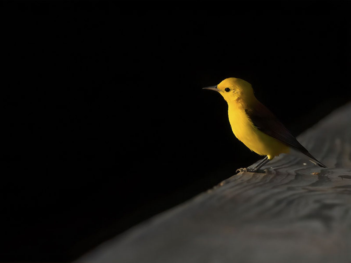 Prothonotary Warbler by Janaki Wallooppillai