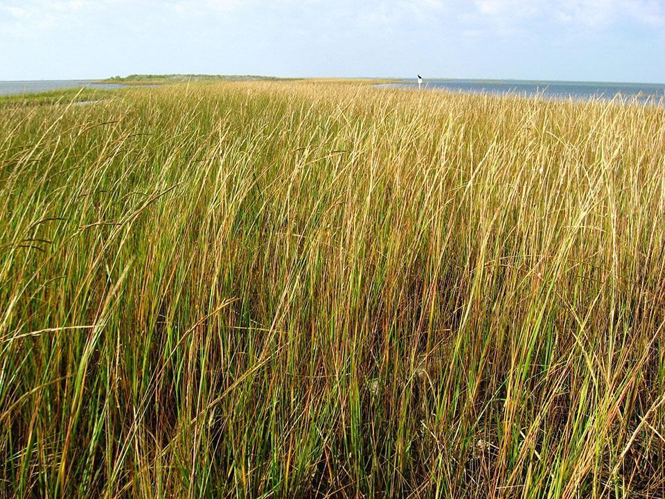 Salt Marsh Cordgrasses