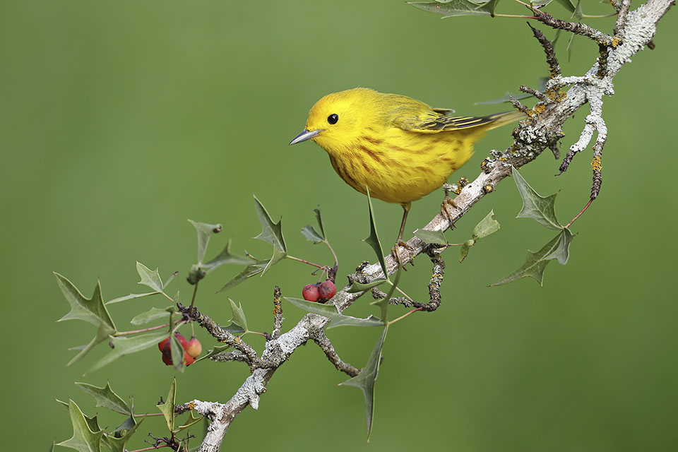 Yellow Warbler by Anthony Louviere
