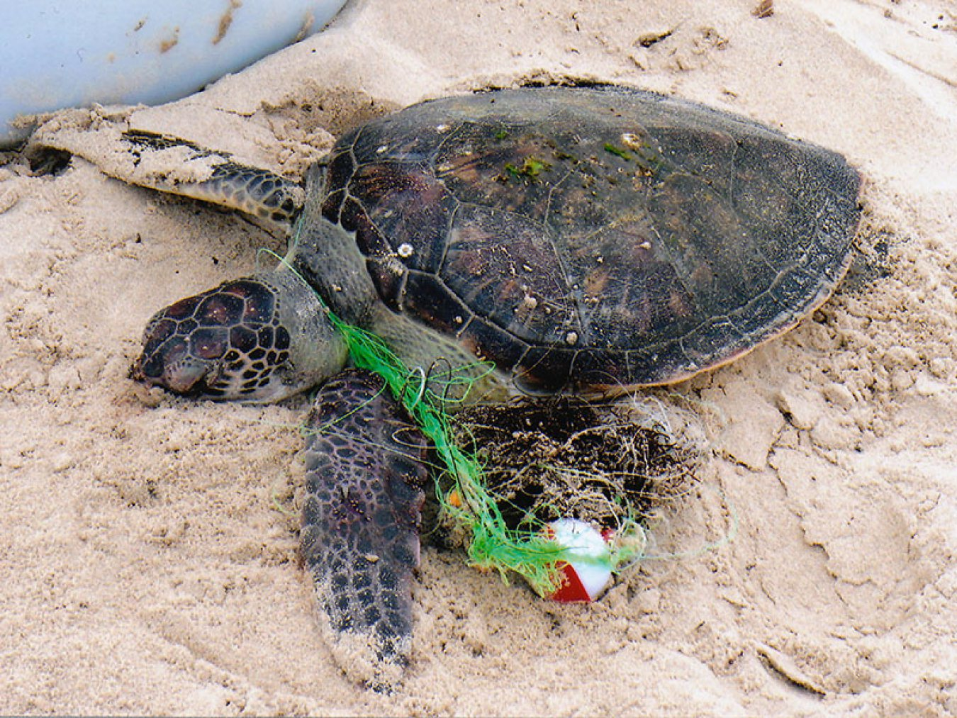 Green Sea Turtle Entangled in Fishing Line